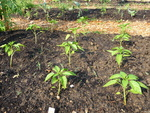 Individual Allotment, Peppers
