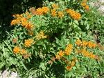 Butterfly Milkweed, Asclepias Tuberosa