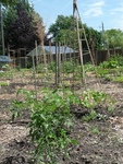 Keyhole Garden, Tomatoes and Beans
