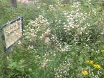 Meadow 48 by Campus Community Garden Project: University of Windsor
